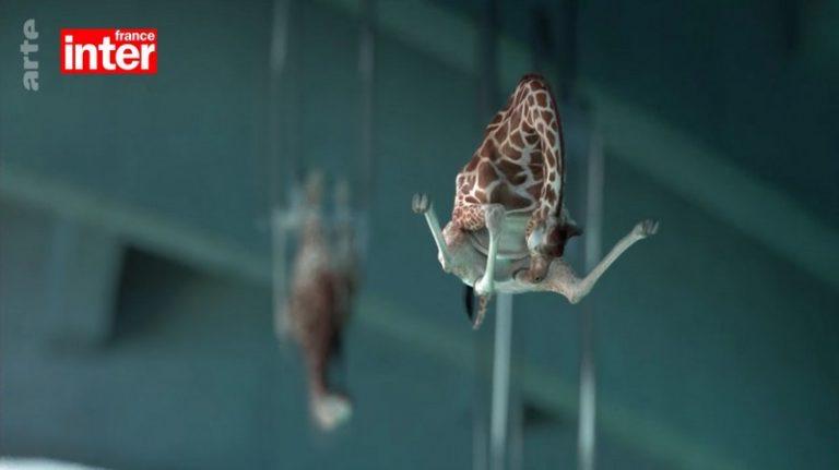 Giraffes of 5,80 meters are again on display !, Olivier Militon